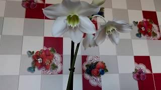 Очень красивый комнатный цветок.