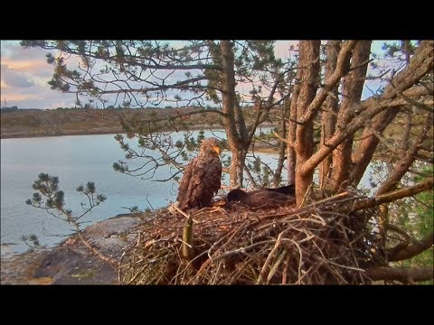 Smola Norway Eagles Nest Cam ~ Quiet Time Mom & Solo 7.3.17