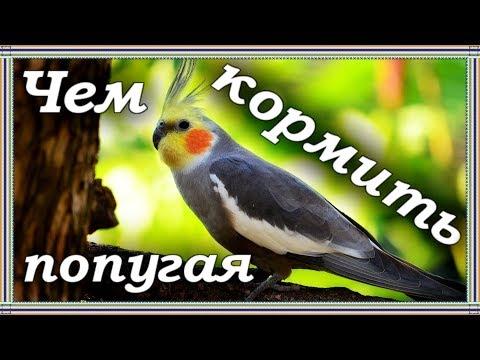 ЧЕМ ПРАВИЛЬНО КОРМИТЬ ПОПУГАЯ. Рацион моих попугаев корелл. Здоровое питание попугая.