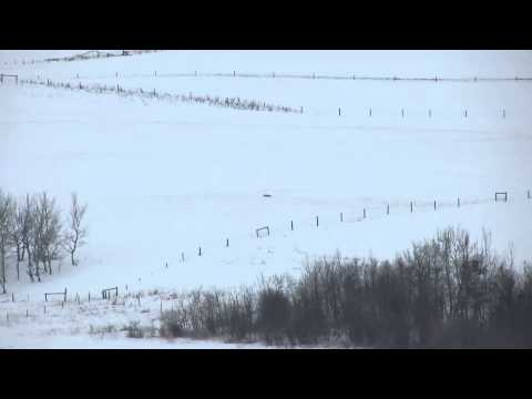 Longest coyote shot on video - 1390 yards.