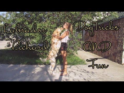 DogTricks and Fun   Labrador Richard 28 month  