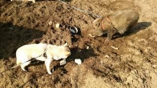 犬のチビとイノシシのまるちゃんです.