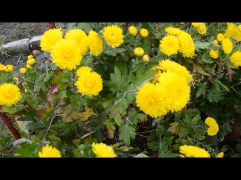 Желтые хризантемы Красивые осенние цветы