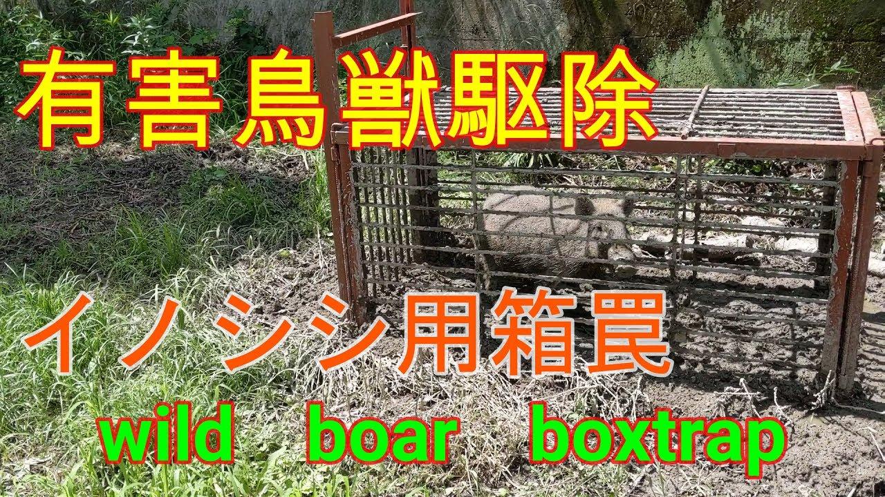 20200702 数日前の箱罠見回りの箱罠にイノシシ入りました Wild boar box trap
