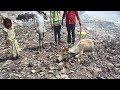 Animal Aid~ゴミの山で動けなくなっていたウシを救え!