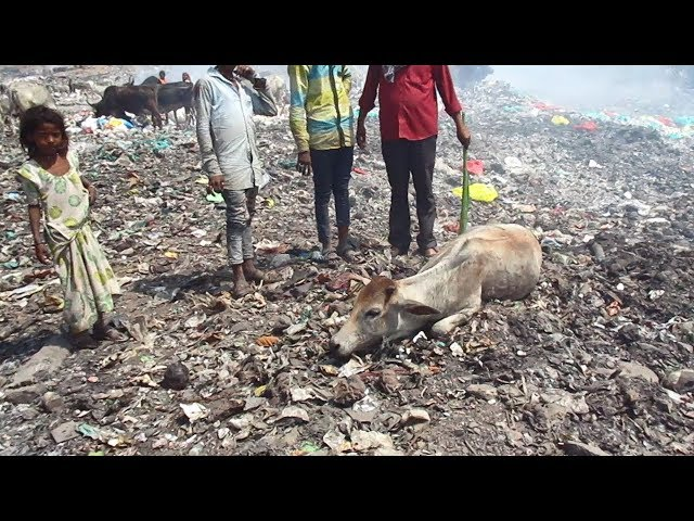 Slum dwellers help rescue injured cow at garbage dump