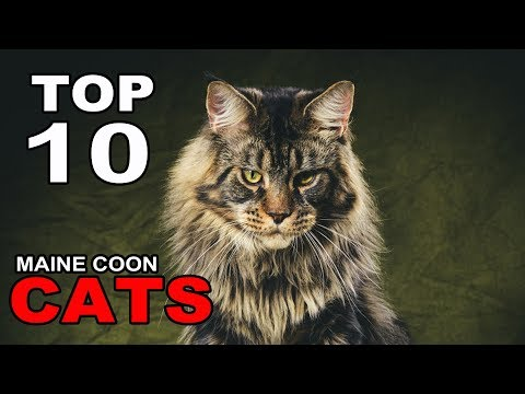 TOP 10 MAINE COON CATS BREEDS