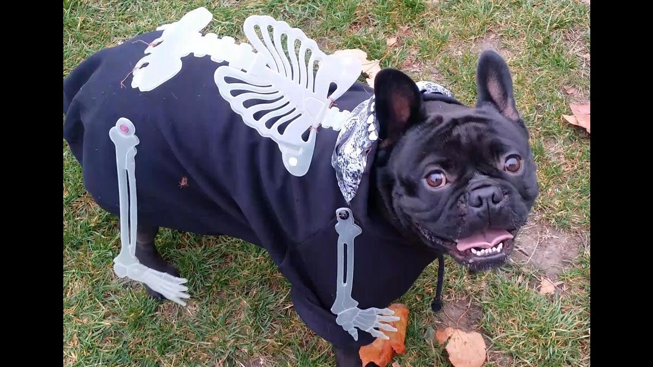 The London French Bulldog Meetup Halloween Bat Pigs In The Park
