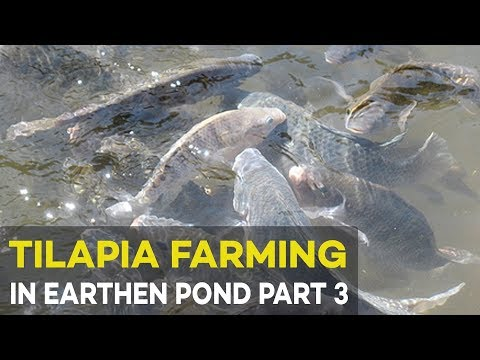 Tilapia Farming in Earthen Pond 2017 Part 3 : Tilapia Fish Health | Agribusiness