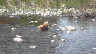 水遊び中にカモ発見! 追いかけるけど。。。