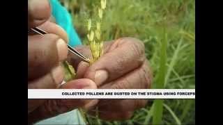 pollination technique in rice