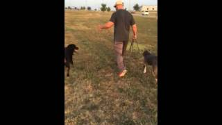 Pitbull Meets Rottweiler | Structured Socialization With Pak Masters