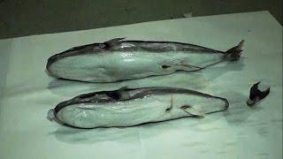 В Севастопольской бухте выловили ядовитую рыбу фугу (новости) http://9kommentariev.ru/