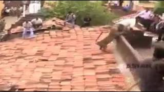 Vídeo engraçado leão ataca pesos