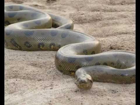 US $500.000 US $ fOR A 25 ft ANACONDA SNAKE .Pagan $500.000us $for una  anaconda de 14 mts