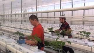 Praca w szklarni  Holandii  Sadzenie nowych sadzonek pomidorów.  Od andrju1969