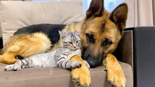 German Shepherd and Golden Retriever are Best Friends for Kitten