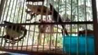 Video-0003.mp4นกกรงหัวจุกแม่ฮ่องสอน