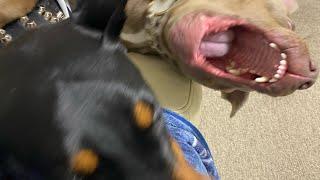 2018年9月に我が家に来た保護犬のピットブル♀1歳MOANAとドーベルマンLOV...