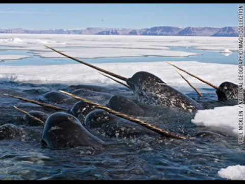 Amazing Animals- Narwhal Whale