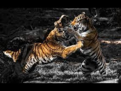 Tigers are fighting!!! Battle of two tigers for territory.watch now! Wild karnataka
