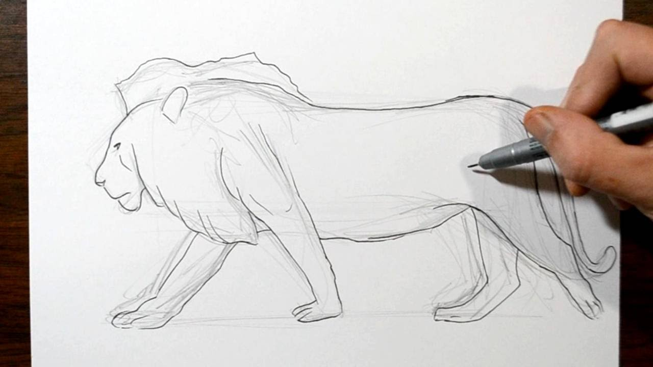 Line Drawing Of Lion : How to draw a lion real time drawing youtube
