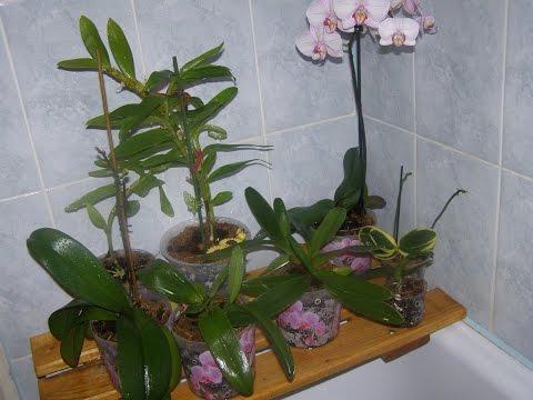 Трипсы на орхидеях  Фаленопсис. Моя борьба с ними.
