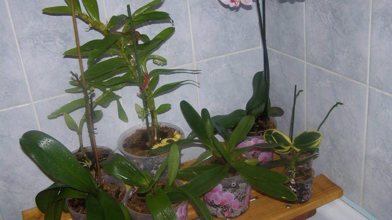 Трипсы на орхидеях фото и борьба с ними