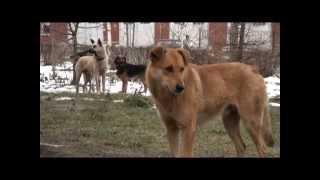 собака бывает кусачей...стая четвероногих держит в страхе жителей города