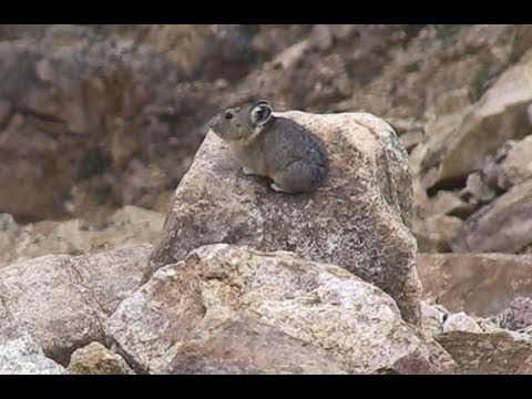 American pikas in the Beartooth Mountains