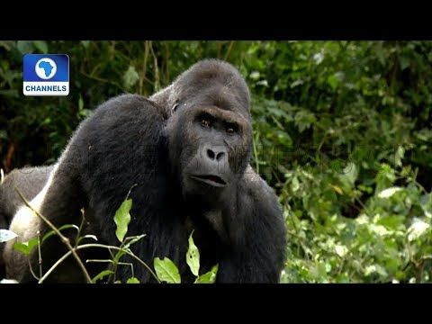 Local Initiative Moves To Protect Endangered Gorillas In Congo |Eco@Africa|
