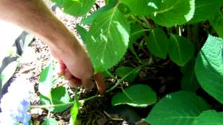 How to Root a Hydrangea from a Branch (ENDLESS SUMMER)