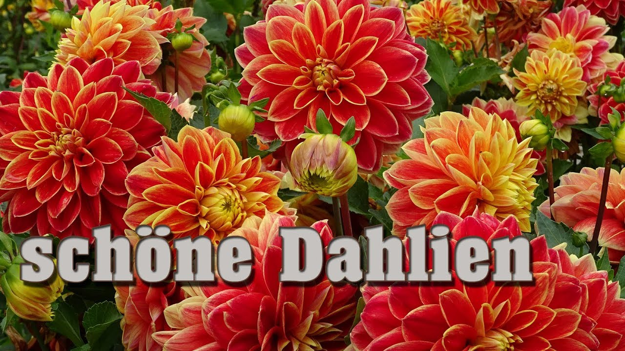 Dahlien überwintern Youtube More Dahlia Pictures