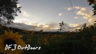 Sunflowers and Sunsets 1 Time Lapse