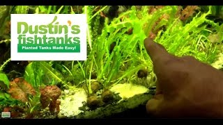 Fast Growing Aquarium Plant: Apongeton Ulvaceus: Species Sunday