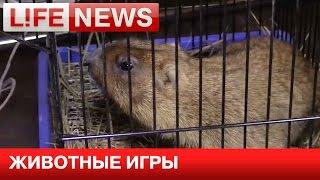 В московском ресторане звезд шоу-бизнеса хотели накормить живым сурком