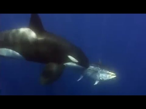 Giant Blue-Finned Tuna | Killer Whale | BBC