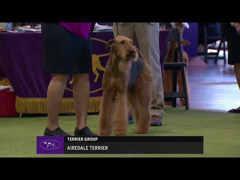 2018 Airedale Terriers Breed Judging   Westminster Kennel Club  - 13 February 2018