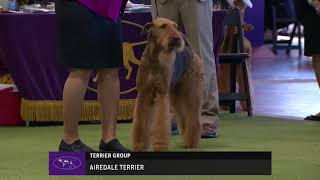 2018 Airedale Terriers Breed Judging   Westminster Kennel Club   13 February 2018
