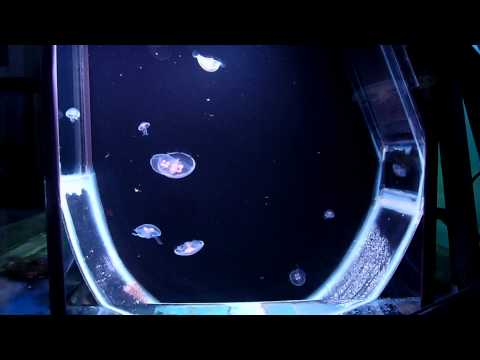 Moon Jellyfish In Kreisel Aquarium