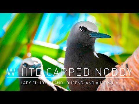Beautiful White capped Noddy on Lady Elliot Island Australia Queensland - Panasonic FZ1000 4K