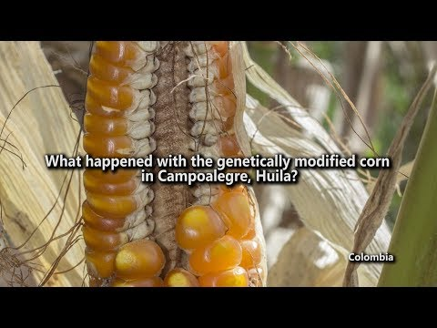 What happened with the genetically modified corn in Campoalegre, Huila?