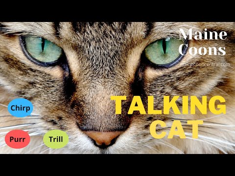 Maine Coon Talking