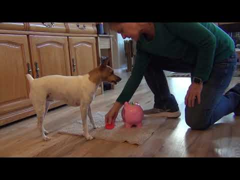 Sky, Toy Fox Terrier performs tricks for  Novice through Expert DMWYD Trick Dog Titles