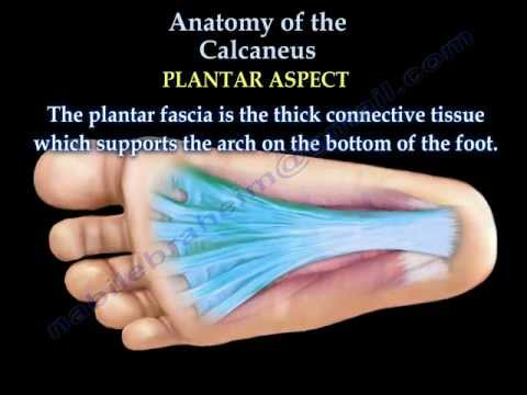 Anatomy Of The Calcaneus - Everything You Need To Know - Dr. Nabil Ebraheim