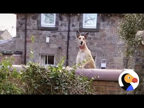 Dog Jumps On Trampoline To See Over Wall