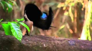 Riflebird Courtship Dancing