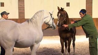 История Терского конного завода, 125 лет развития