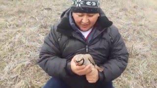 кеклик или каменные куропатки