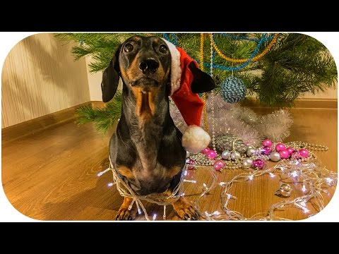 DOG opening Christmas PRESENT! Funny animal video!
